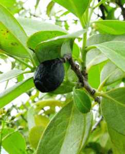 Sandalwood-Paniculatum-Fruit-Hawaii